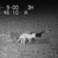 Remote site monitoring of predator activity.